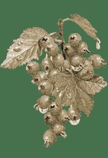 ветка боярышника