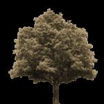 Посадить дуб – примета