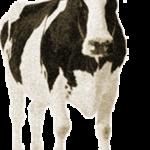 Приметы при покупке коровы