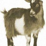 Приметы про козу