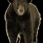 Приметы про медведя