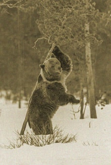 медведь чешет спину