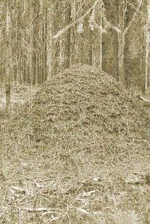 муравейник в лесу