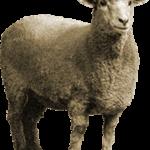 Овцы – приметы