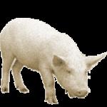 Приметы про свинью