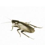 К чему в квартире появляются тараканы