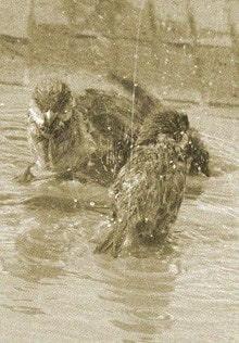 воробьи купаются в луже