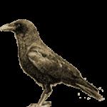 Ворона каркает – примета